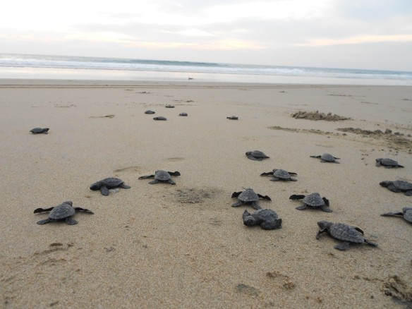 A group of loggerhead turtles on the beach. (Photo courtesy of Ohio State University's Ohio Certified Volunteer Naturalist webpage, http://ocvn.osu.edu)