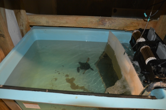 The baby loggerhead eventually outgrew her 90-gallon tank.