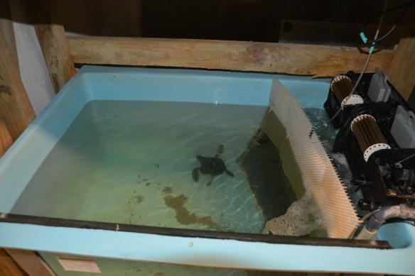 The baby loggerhead eventually outgrew her 90-gallon tank.