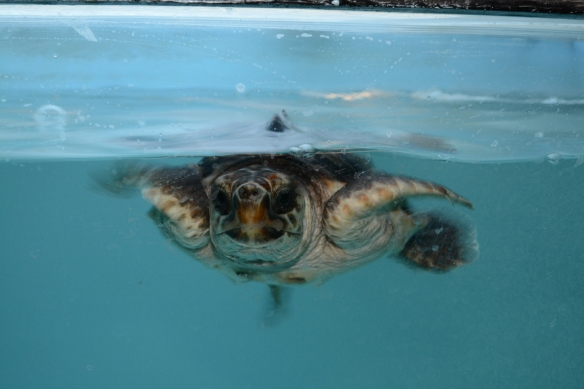 Newport Aquarium's young loggerhead sea turtle is not camera shy.