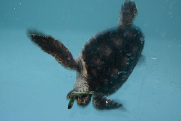 Eating a silverside fish head first is a positive sign that the young loggerhead is more comfortable with her swimming abilities.
