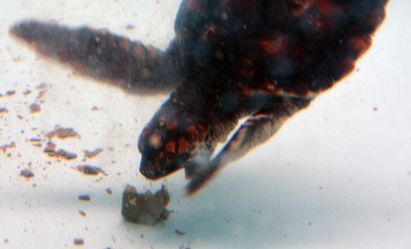 The baby loggerhead takes a bite of her morning meal.