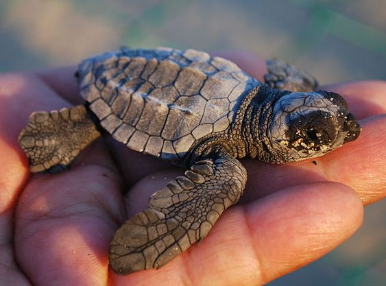 A newly hatched loggerhead easily fits in the palm of a hand. (Photo courtesy of http://oceana.org/)
