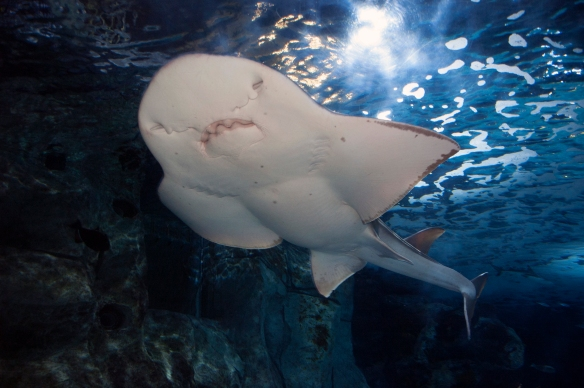 Sweet Pea is the first confirmed shark ray to become pregnant outside the wild.