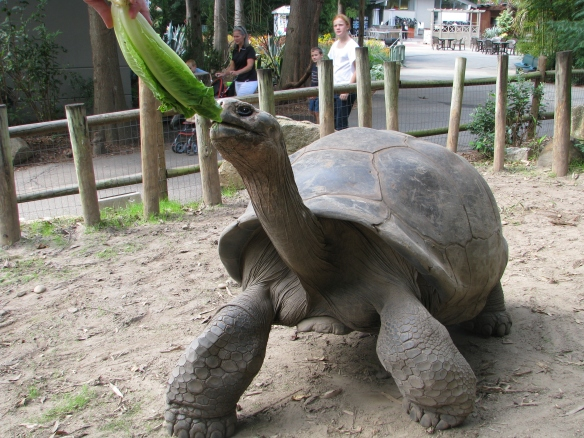 Bravo is a more than 600-pound Galapagos tortoise, the largest species of land turtle in the world. (Photo courtesy of Riverbanks Zoo and Garden)
