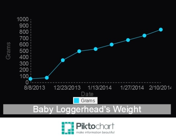 A growth chart of the young loggerhead's weight (in grams).