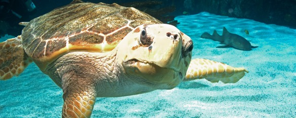 Denver, our nearly 200-pound loggerhead sea turtle, serves an ambassador to Newport Aquarium's sea turtle conservation efforts.