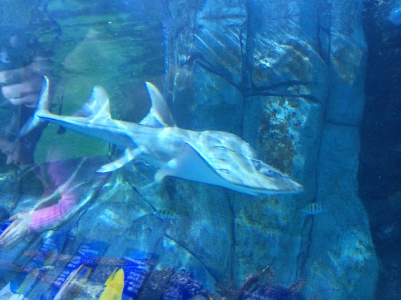 Sweet Pea exiting the the acclimation tank and returning to the Surrounded by Sharks exhibit Tuesday afternoon.