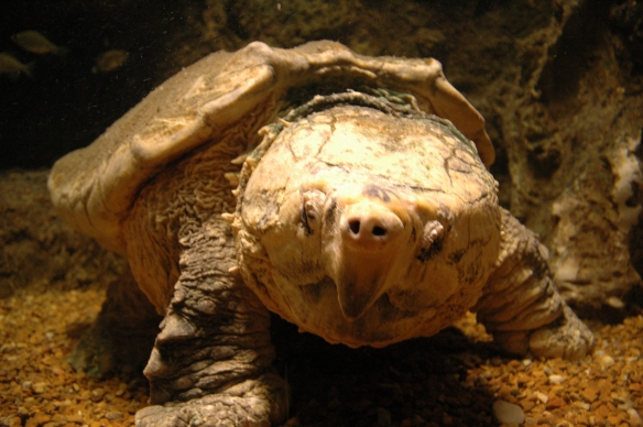 At more than 100 years old,  Thunder the alligator snapping turtle is the oldest animal at Newport Aquarium.