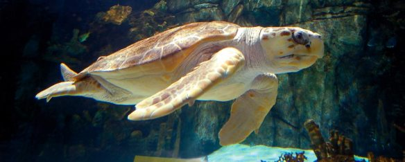 Denver, an endangered loggerhead sea turtle, swims in the Surrounded by Sharks exhibit.