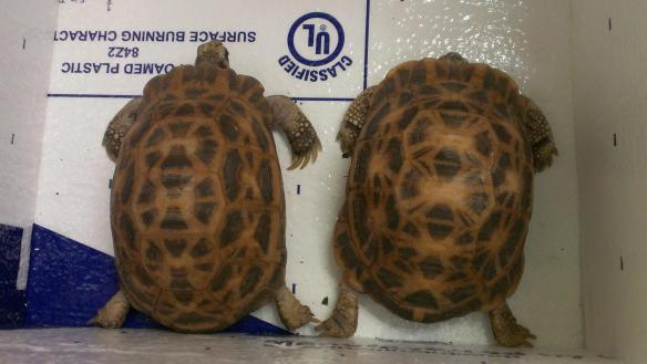Our new spider tortoises from Knoxville Zoo! Woop woop!