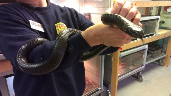 This is an indigo snake that was shown to us at Zoo Atlanta. This is one of their outreach animals.