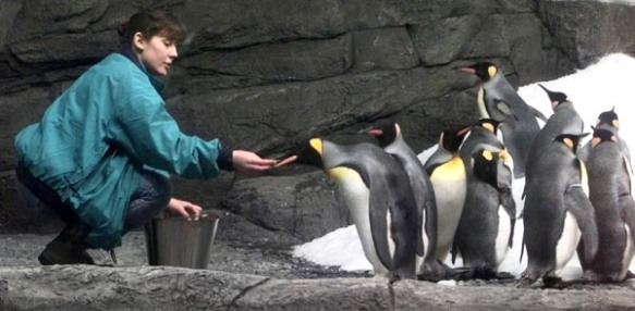 Before Newport Aquarium opened in May 1999, Sr. Biologist Crystal Phillips traveled to Adventure World near Shirahama, Japan to bring king penguins to Northern Kentucky.