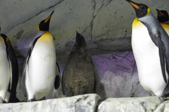 King penguin chick 2