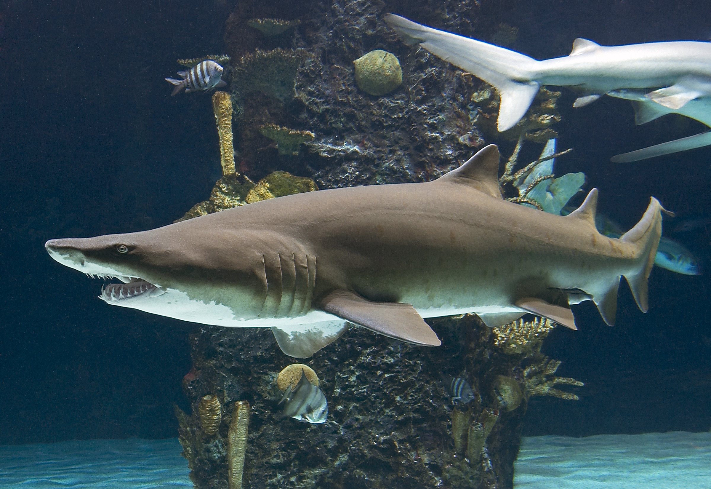 Sand tiger shark aquarium works for Shark fish tank