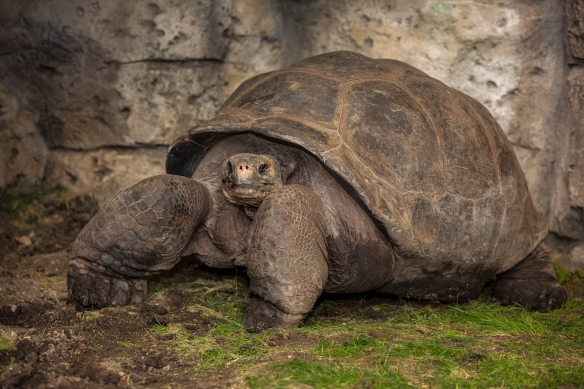 Bravo, a 650-pound Galapagos tortoise, is the largest turtle in the Midwest.