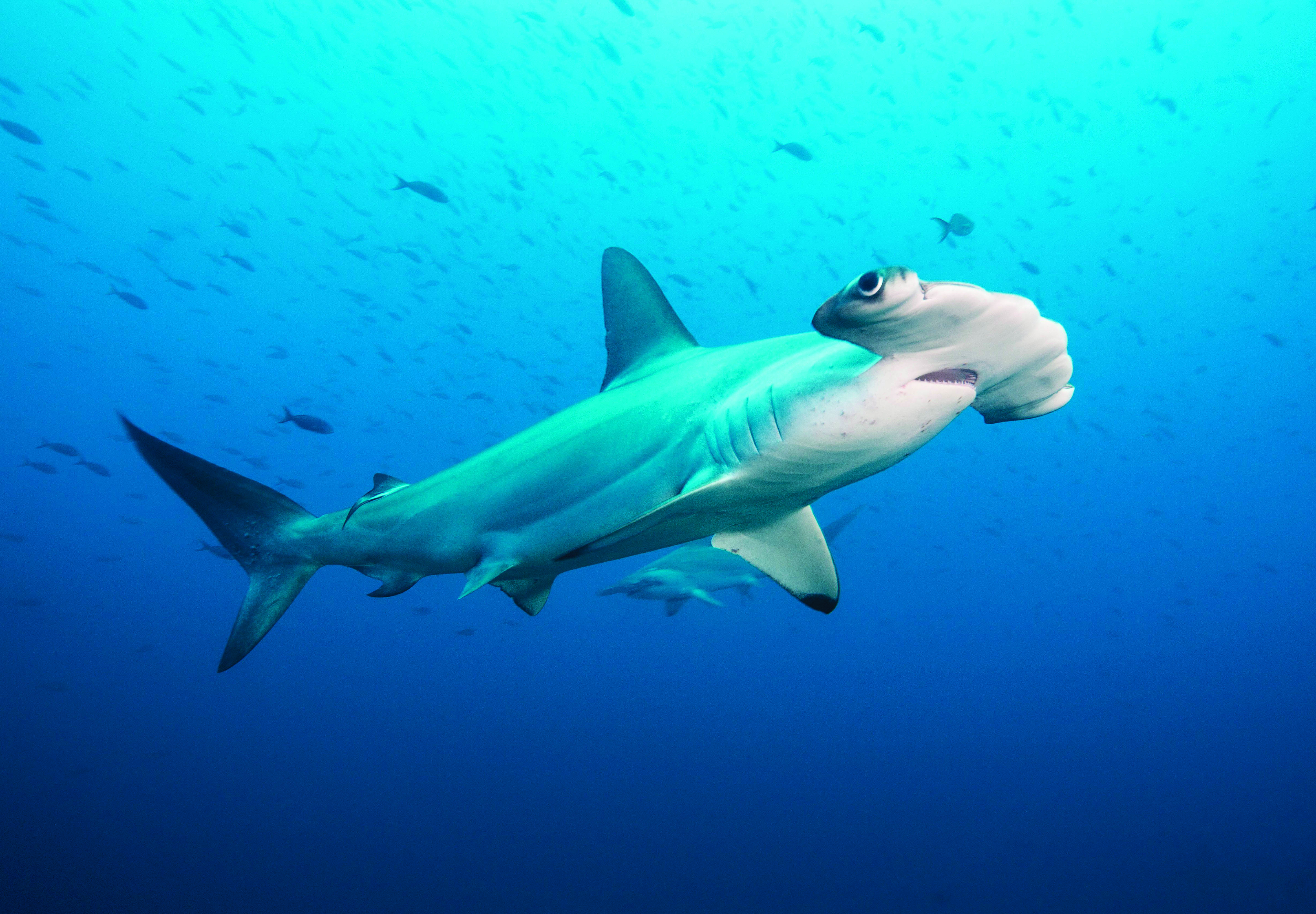 Fish tank sharks - Newport Aquarium Will Be The First Institution In North America To Exhibit Multiple Scalloped Hammerhead Sharks