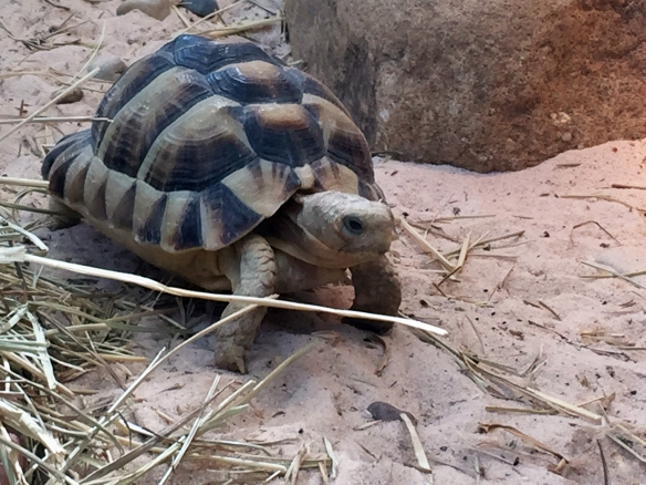 Egyptian tortoises, the smallest tortoise species in the Northern Hemisphere, will be leaving Newport Aquarium on March 1.
