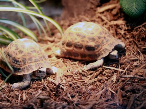 A pair of spider tortoises will be coming off exhibit when Turtle Canyon closes on March 1. (Photo via The Enquirer/Patrick Reddy)