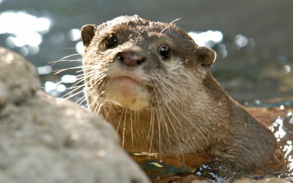 NewportAq_Otter
