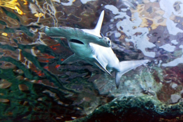 Scalloped hammerhead sharks are now on exhibit at Newport Aquarium.