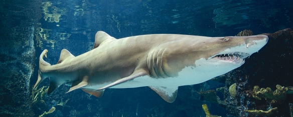 Sand tiger sharks are listed as endangered.
