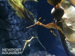 Weedy sea dragons grow to about a foot long!