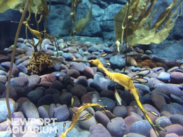 Weedy Sea Dragons