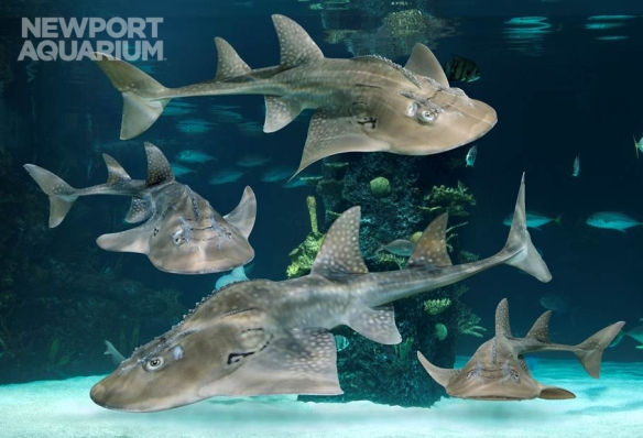 Newport Aquarium Shark Rays