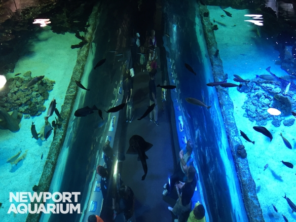 Shark ray pups explore the Coral Reef. The 60,000 gallon Coral Reef habitat is similar to their native surroundings in the Indo-Pacific.