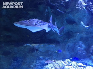 Newport Aquarium shark ray pup