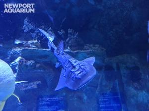 Newport Aquarium shark ray pup