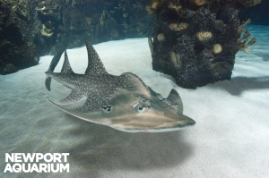 Adult shark ray