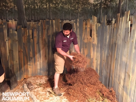 Ryan, the biologist and primary alligator keeper, prepares some of the nesting material for Snowflake, one of the white alligators.