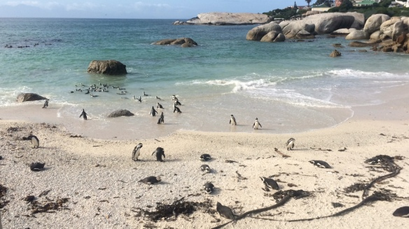 Boulders penguins in surf