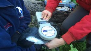The goal of the PIT tagging project is to tag at least 10% of the world's population of African Penguins over the next 3 years.