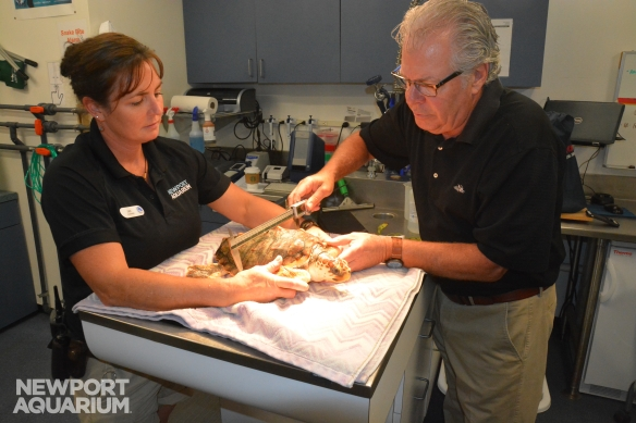 Shack, a rescued loggerhead sea turtle receives his final exam from Newport Aquarium Senior Biologist Jen Hazeres and Dr. Peter Hill.