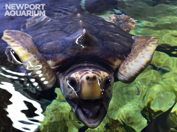 Shack, therescued loggerhead sea turtle is ready to return to the ocean.