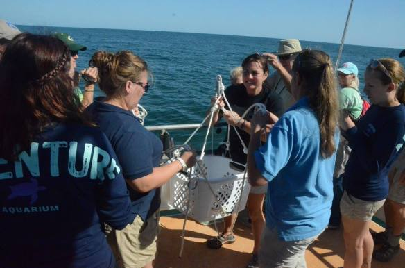 33 healthy young loggerhead sea turtles were released about 20-miles offshore – they ranged in age from 2-weeks-old to a 2-year-old. Photo Courtesy: NC Aquarium at Pink Knoll Shores