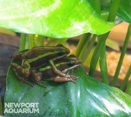 Adult Anthony's Poison Arrow Frogs
