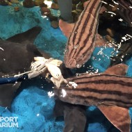 Striped catsharks