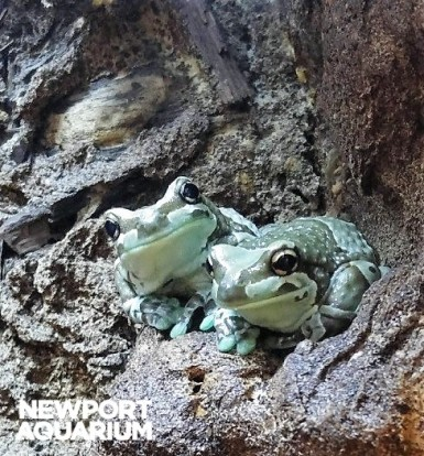 Amazon milk frogs
