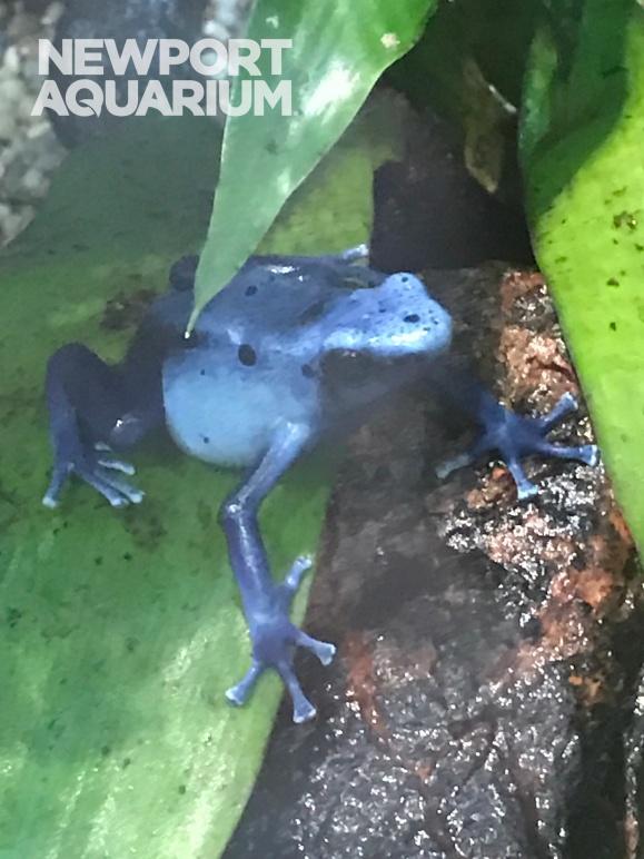 Blue Poison Dart 3