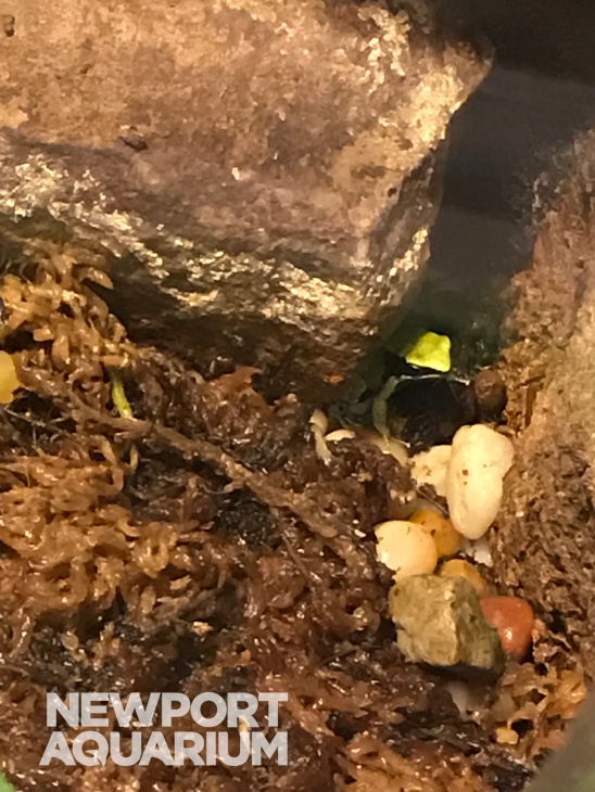 Green Mantella 3