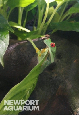Red Eye Tree Frogs have a special eyelid that has a lattice pattern on it. This hides their bright red eye but still allows them to look out for danger.