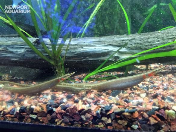 black stripe pipefish