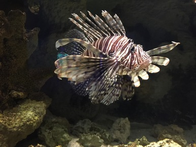 The lionfish on exhibit at Newport Aquarium. We have these fish on exhibit to teach people about the invasive species.