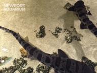 Leopard sharks can reach up to 7-feet long.