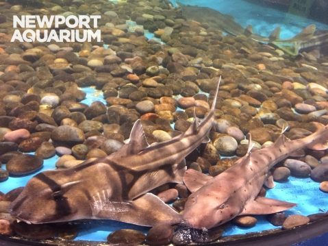 Port Jackson, California Horn Shark