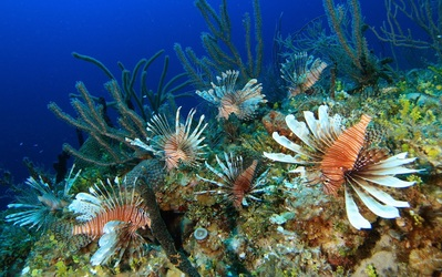 Rich_Carey lionfish at little dutch boy.img_assist_custom-399x251